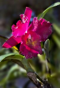 hong_lan_-_red_orchid-content